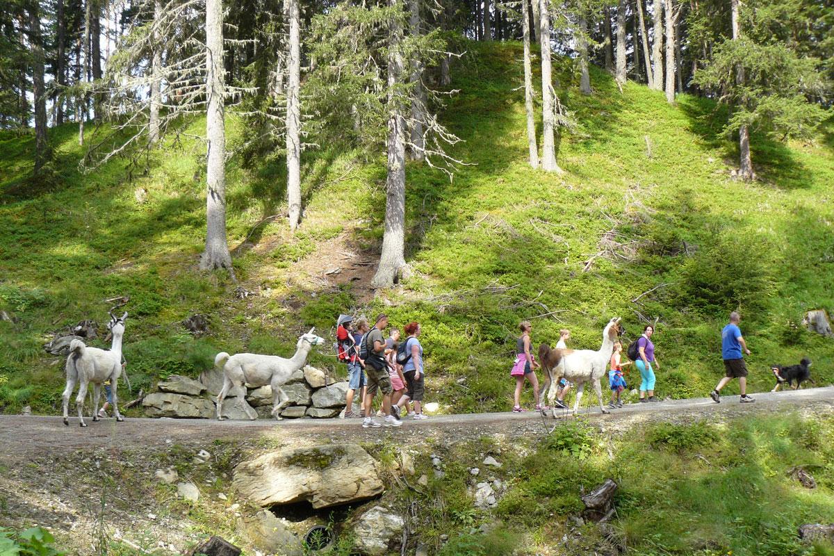 Bei einer Lama/Alpaka-Wanderung das schöne Ötztal erleben - Alpin Appart