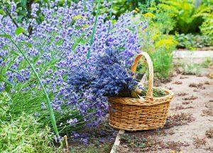 Der Lavendel und seine Verwendung