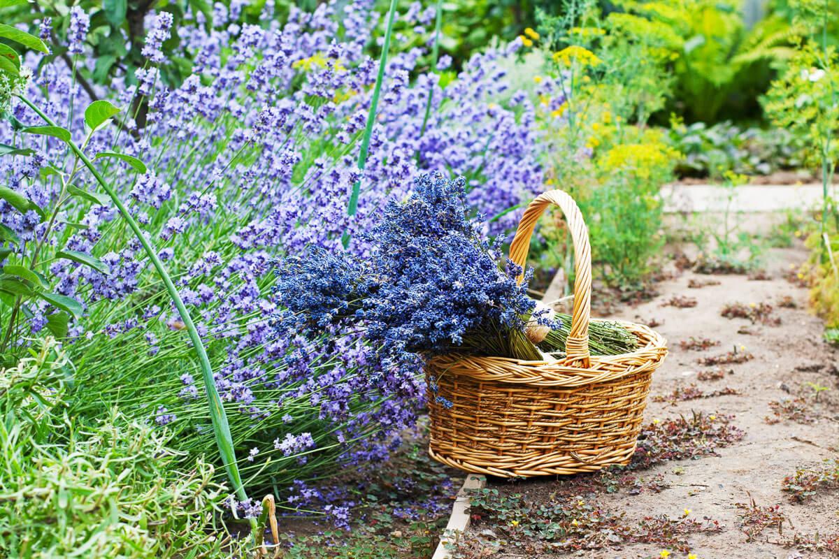 Lavendel im Bauerngarten