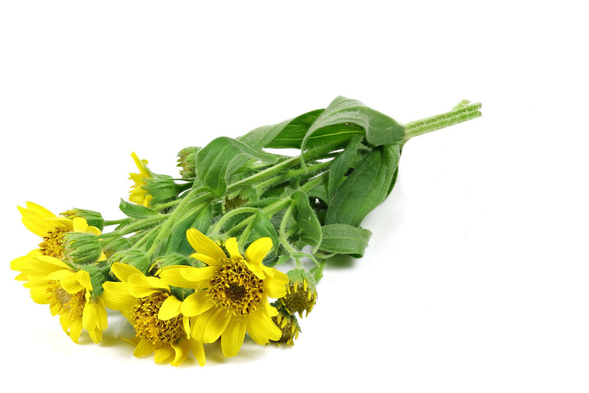 Arnika Pflanze mit Blüte