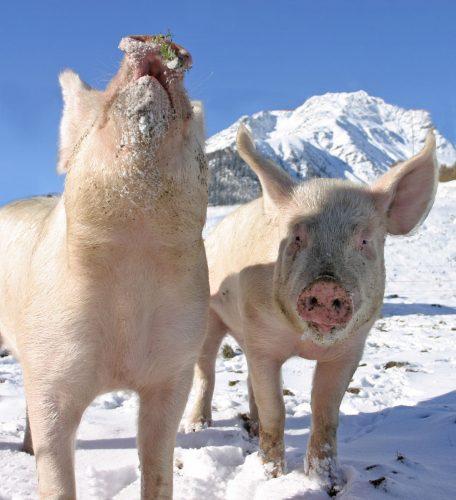 Saukalt, aber tierisch gut – Winter auf dem Bauernhof