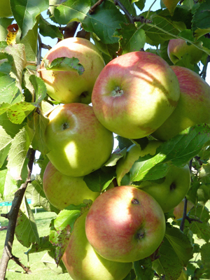 Apfelernte im Herbst auf dem Thomahof