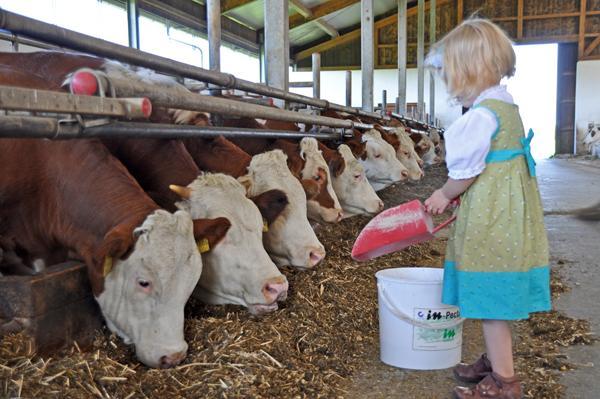 Auch die Kleinen dürfen auf dem Springerhof die Kühe füttern