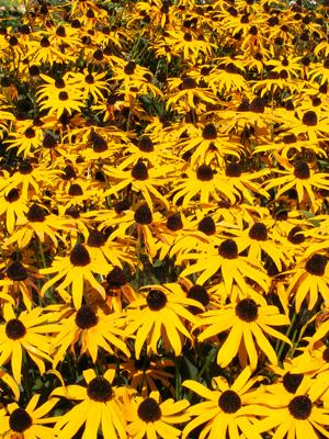 Blumen aus dem Bauerngarten auf dem Thomahof