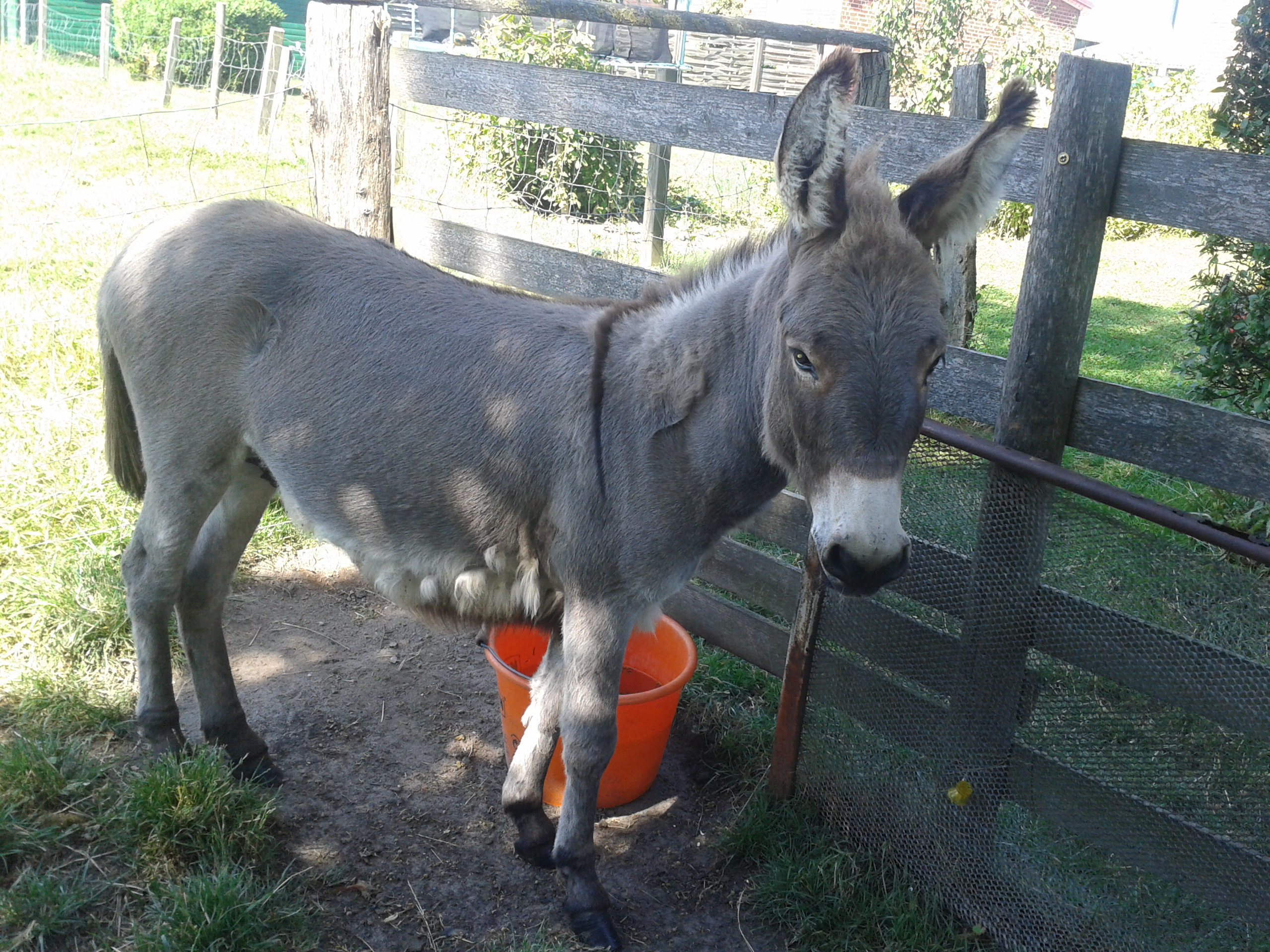 Esel auf dem Ferienhof Stobbe