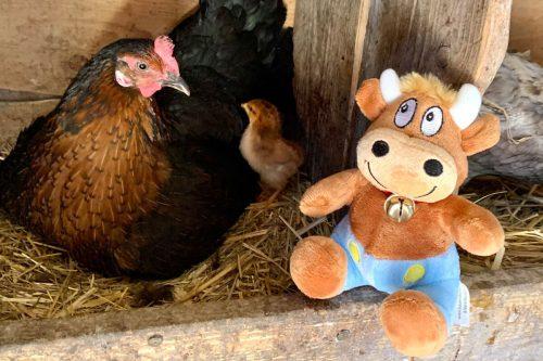 Ferienhof-Ritter-Besuch im Hühnerstall