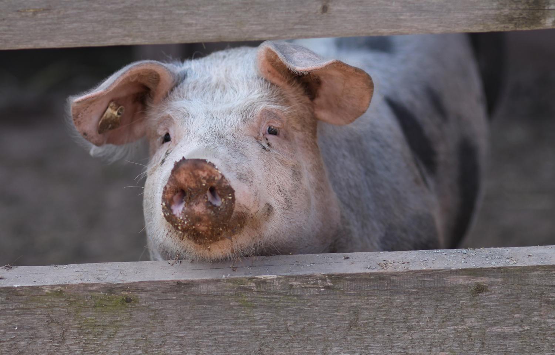 Glückliches Schwein im Feriendorf Nehmeier