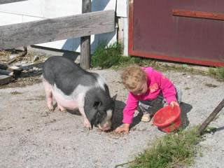 Hängebauchschwein Fritz auf dem Kinderbauernhof Hindelang