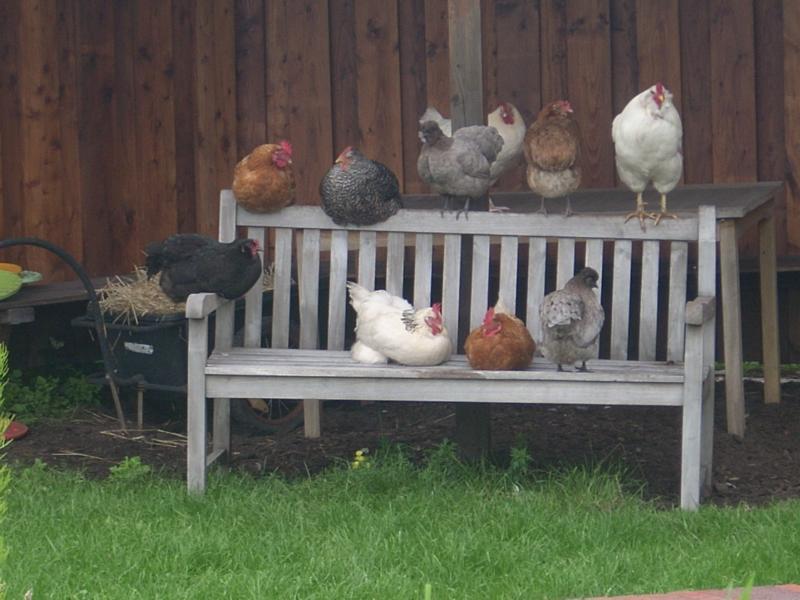 Hühner auf dem Andresenhof