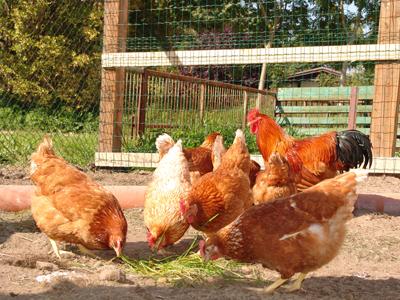 Hühner pikken Gras