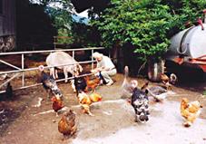 Hühner und Schweine auf dem Muhrhof