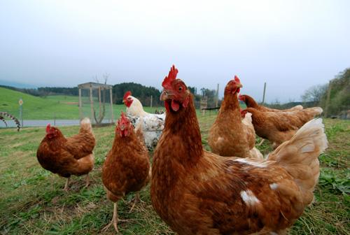 Hühnerschar auf dem Ferienhof Haus Sonnenschein