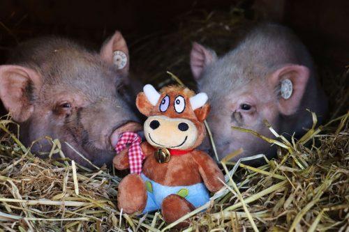 Hasenkammer-Friederikes-Reisetagebuch-Im Schweinestall