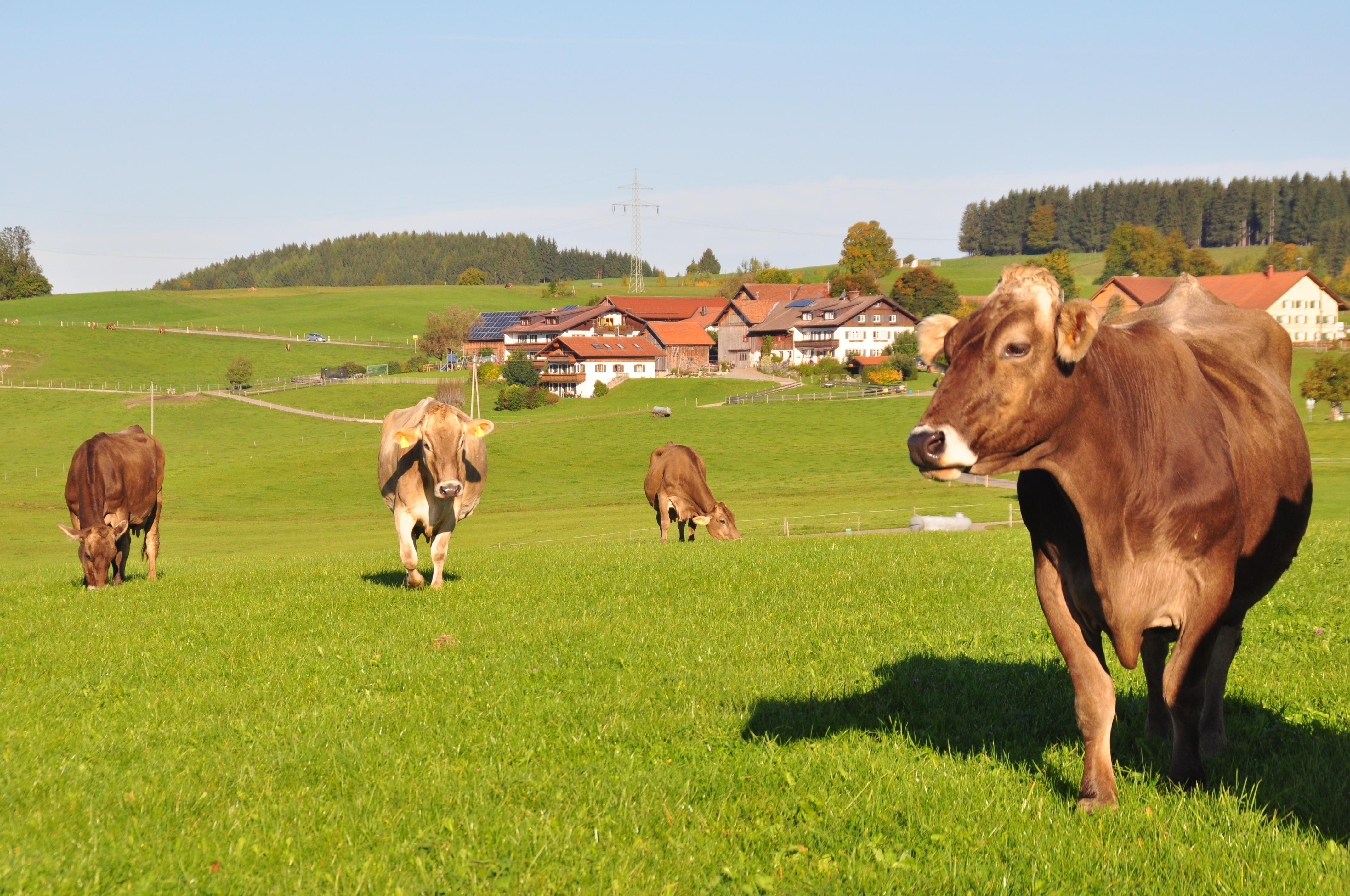Hof Alpenseeblick Kühe auf der Weide im Herbst