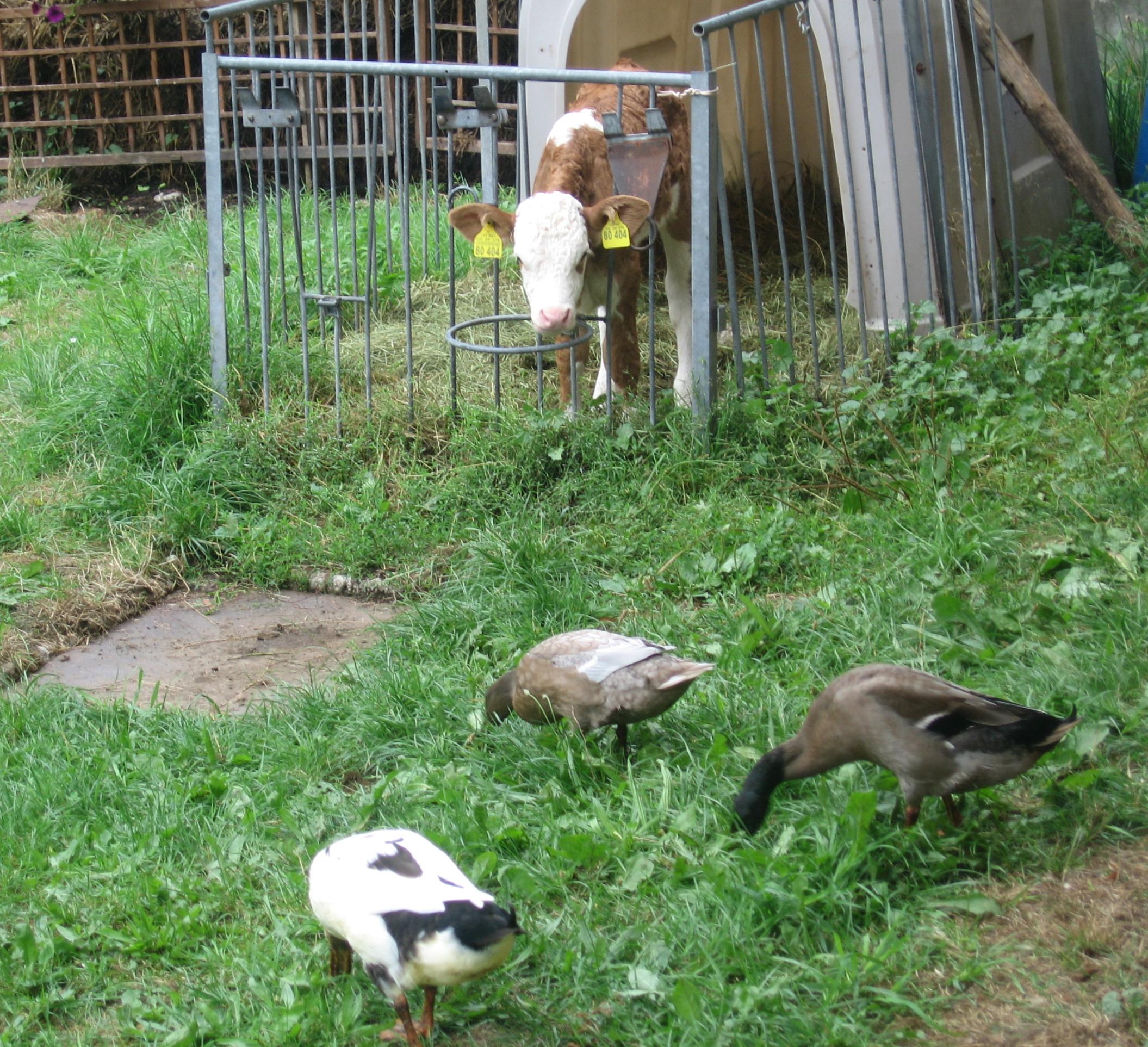 Kälbchen und Enten auf dem Vorderlipphof