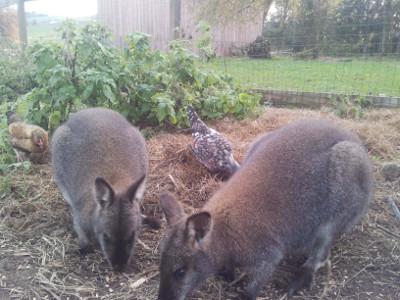 Känguruhs auf dem Ponyhof Grünberger