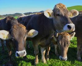 Kühe auf Alfred´s Ferienbauernhof