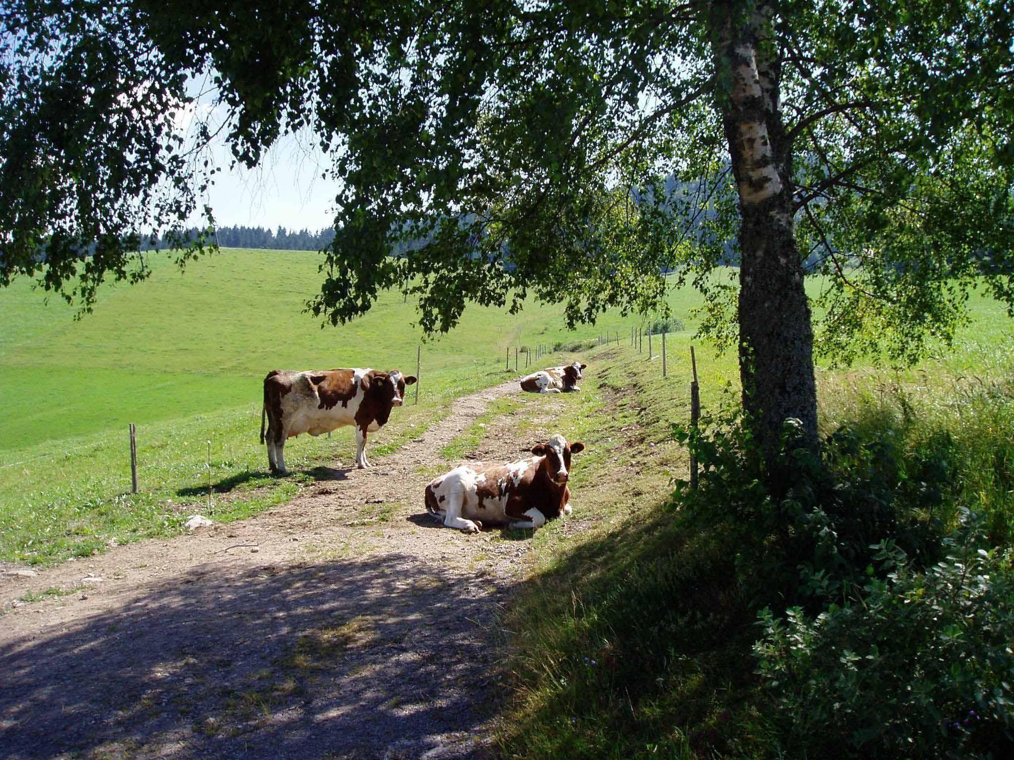 Kühe auf dem Michelthomilishof