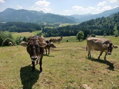 Kühe auf den Weiden