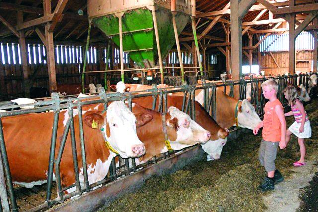 Kühe füttern auf dem Ferienhof Schätzl