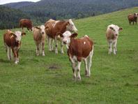 Kühe und Kälber auf dem Muhrhof