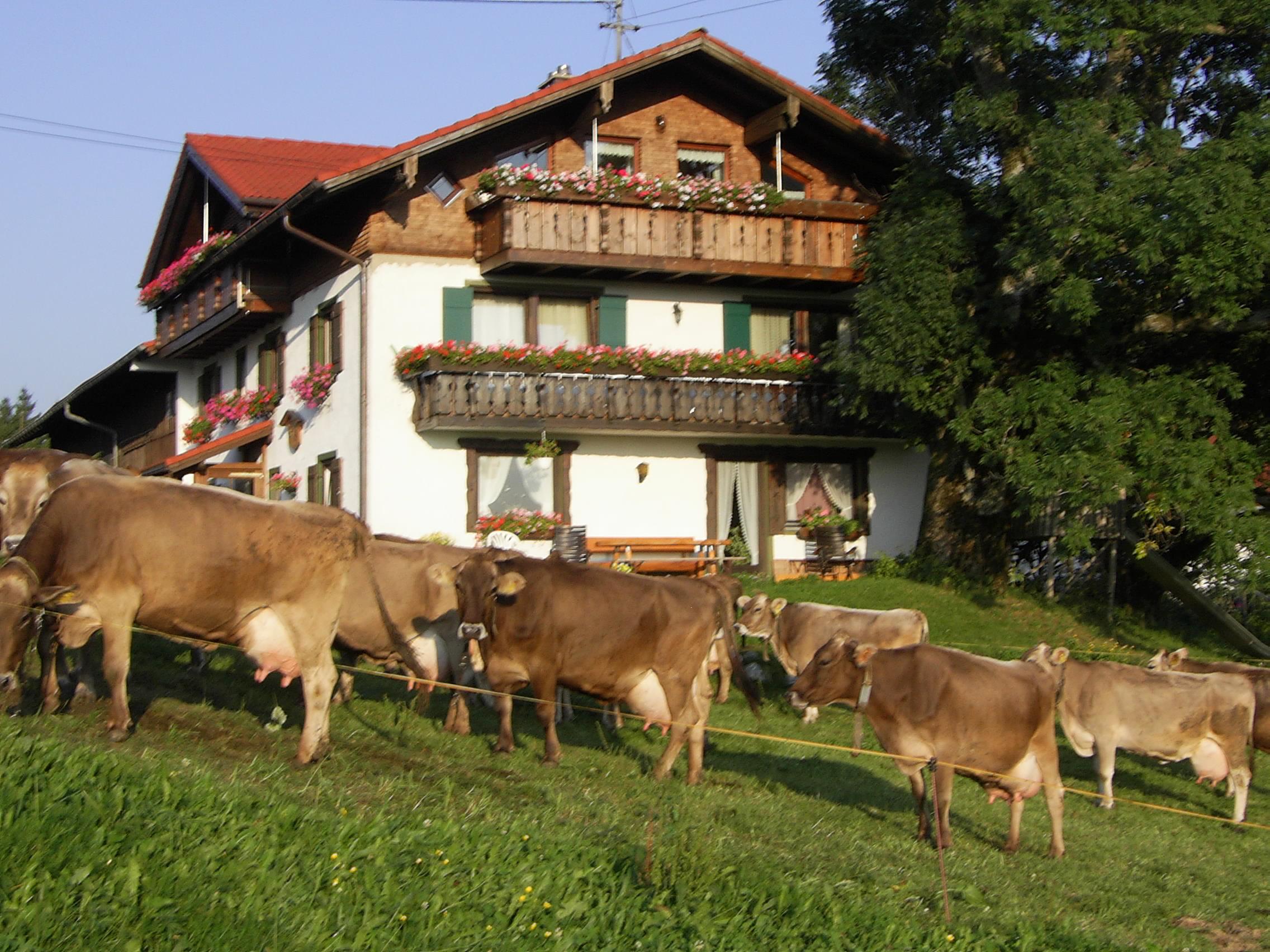 Kühe vor dem Bergbauernhof Rief