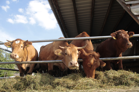 Kühe vor dem Stall