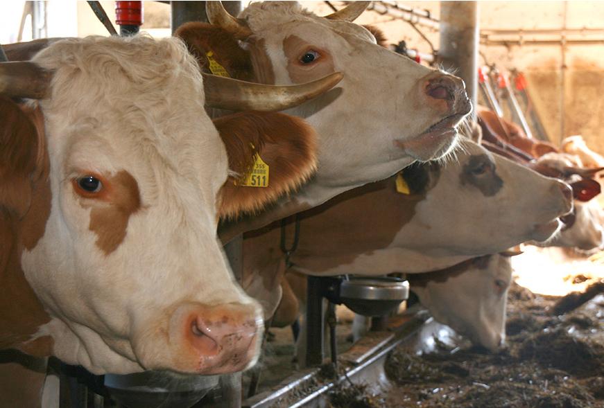 Kühe unter sich