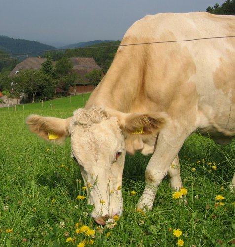 Kuh auf dem Grub Daniel Hof
