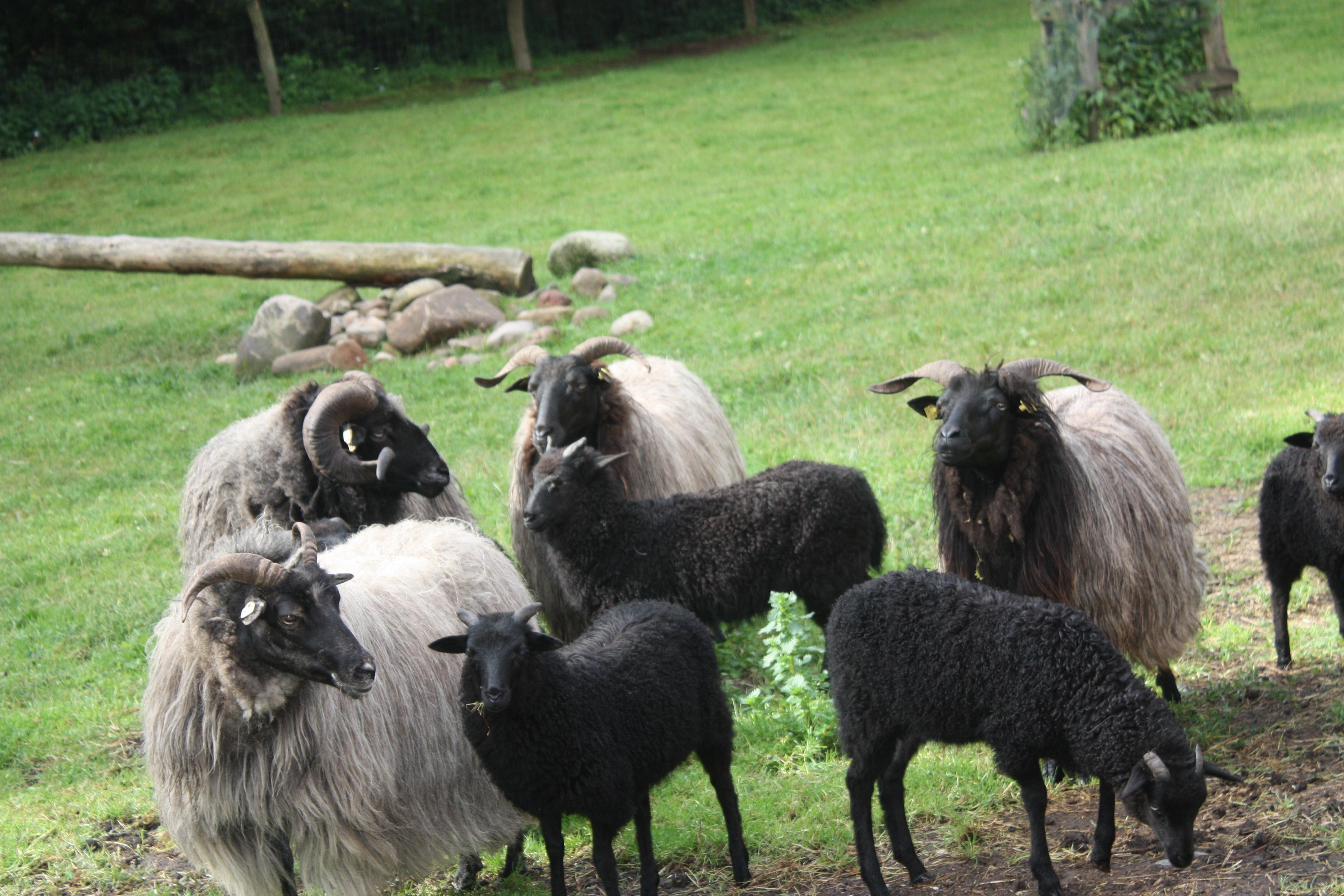 Auf Tödtler´s Immenhof gibt es nicht nur weiße, sondern auch schwarze Schafe