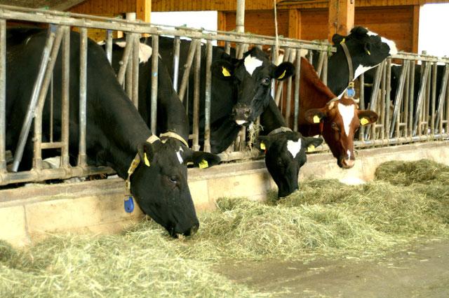 Neugierige Blicke der Kühe auf dem Ferienhof Sauter