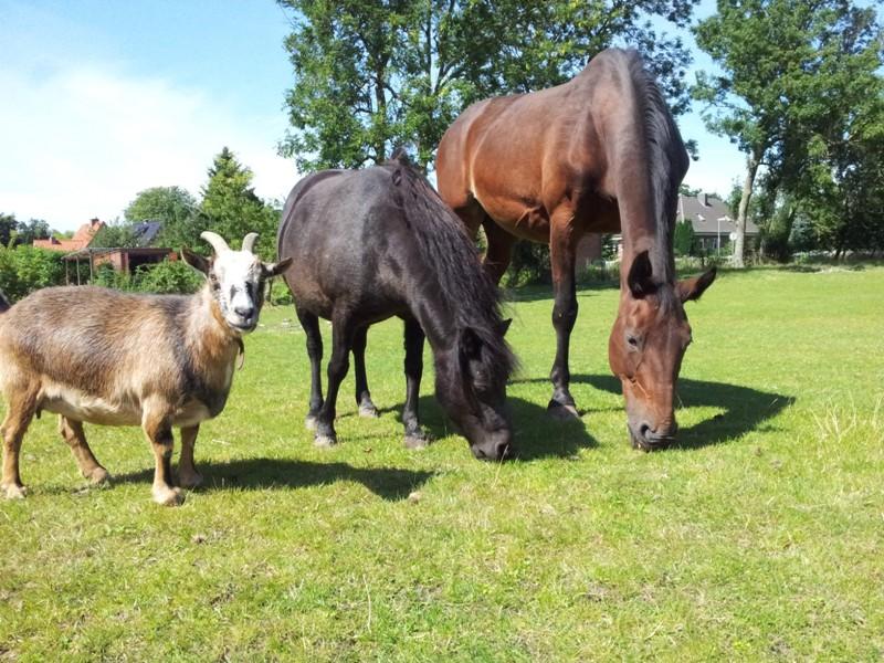 Pferdchen und Ziege auf dem Ferienhof Rickert