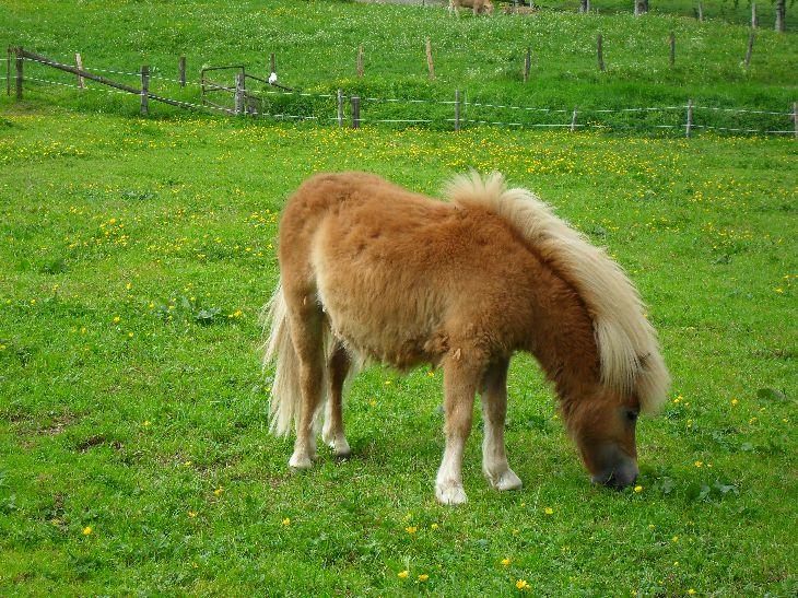 Ponys auf dem Friedahof