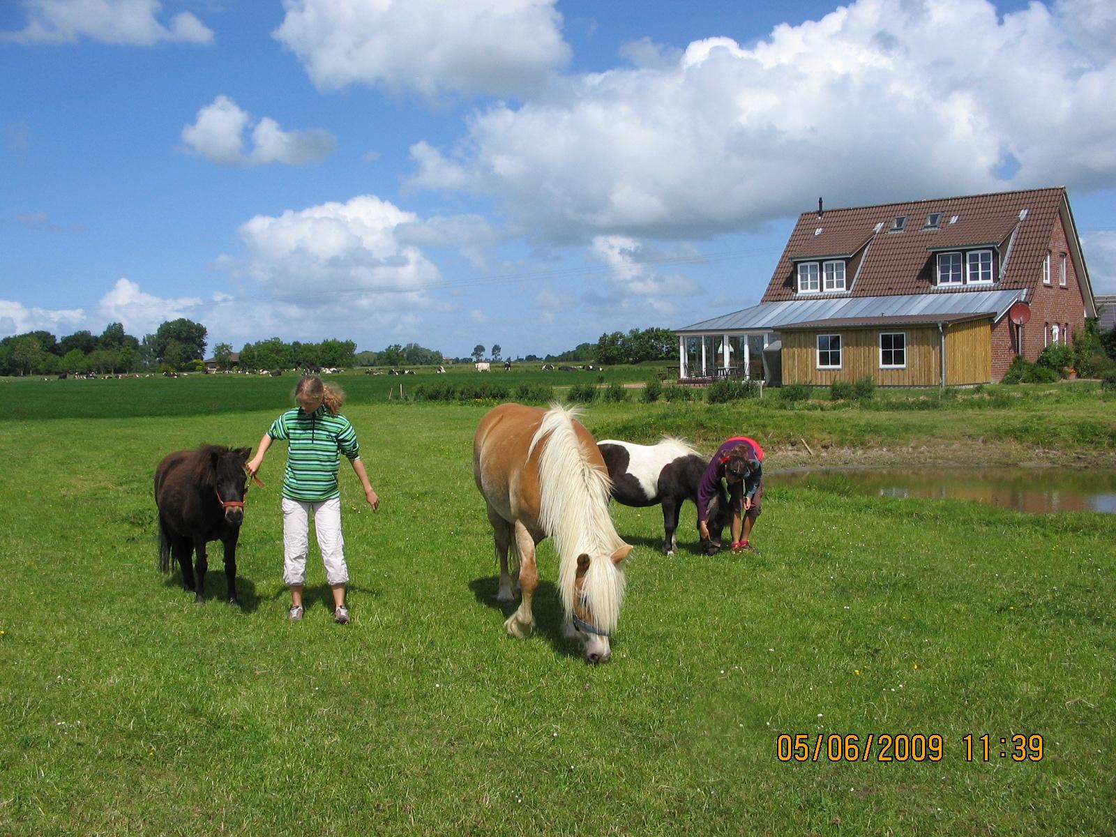 Ponys auf der Weide auf dem Ferienhof Rickerts