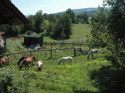 Ponys auf der Weide auf dem Ponyhof Grünberger