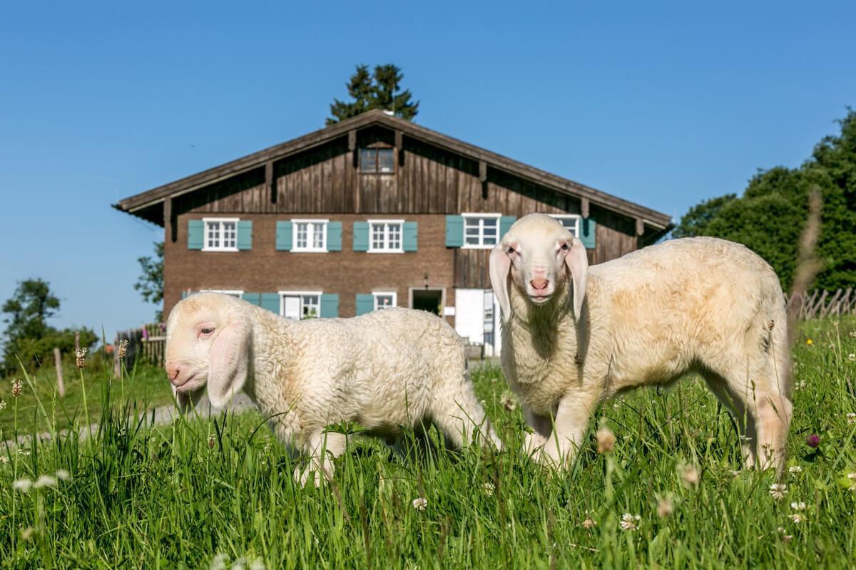 Der Sattler-Hof mit süßen Lämmchen - © Allgäuer Bergbauernmuseum/Ralf Lienert