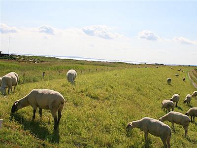 Schafe am Deich von der  Ferienanlage Schuldt