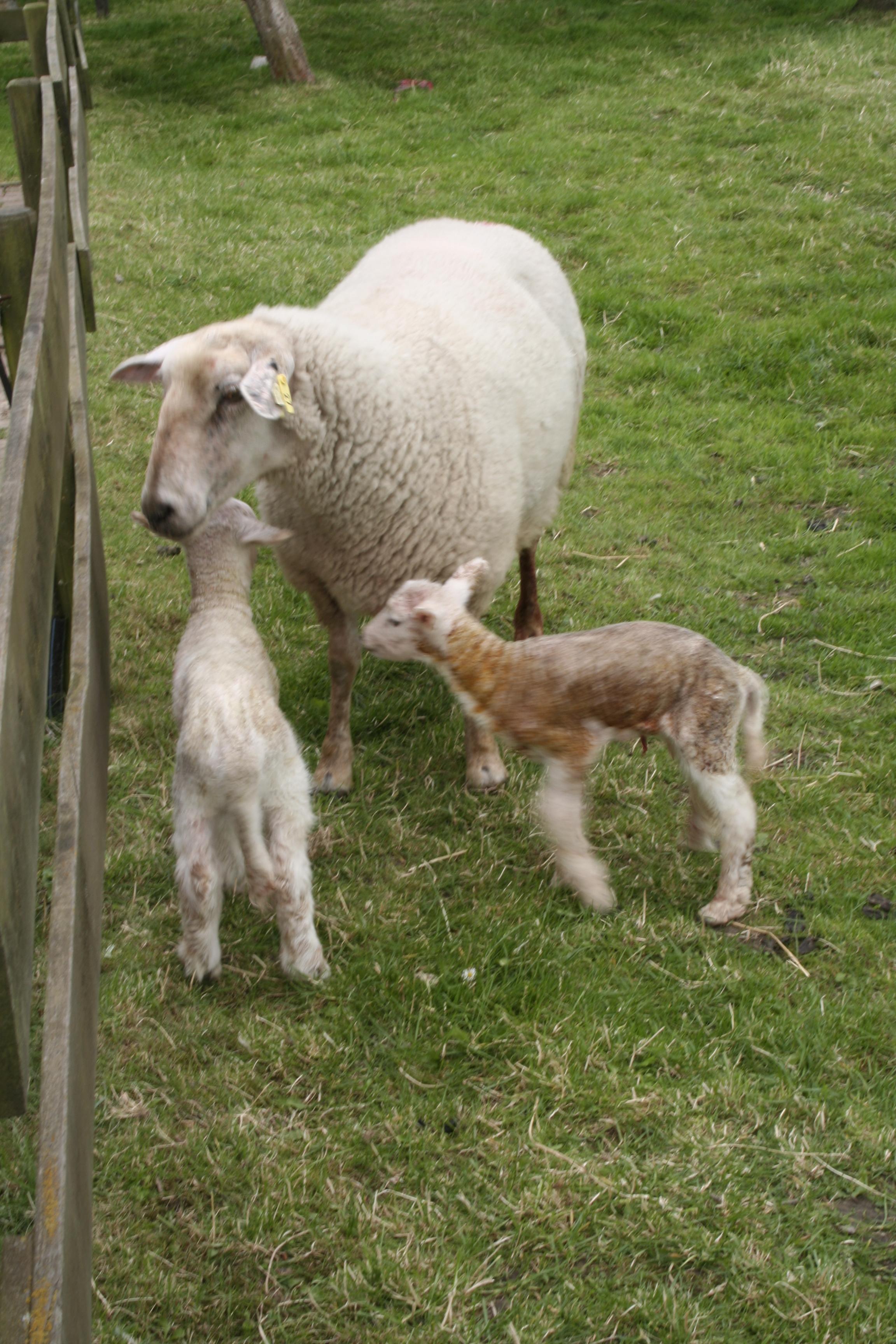 Schafe auf dem Ferienbauernhof Klützke