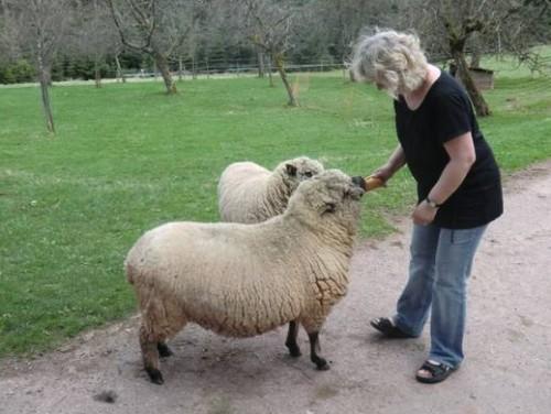 Schafe füttern auf dem Walterhof