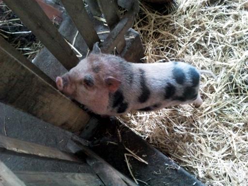 Schweinchen auf dem Friedahof