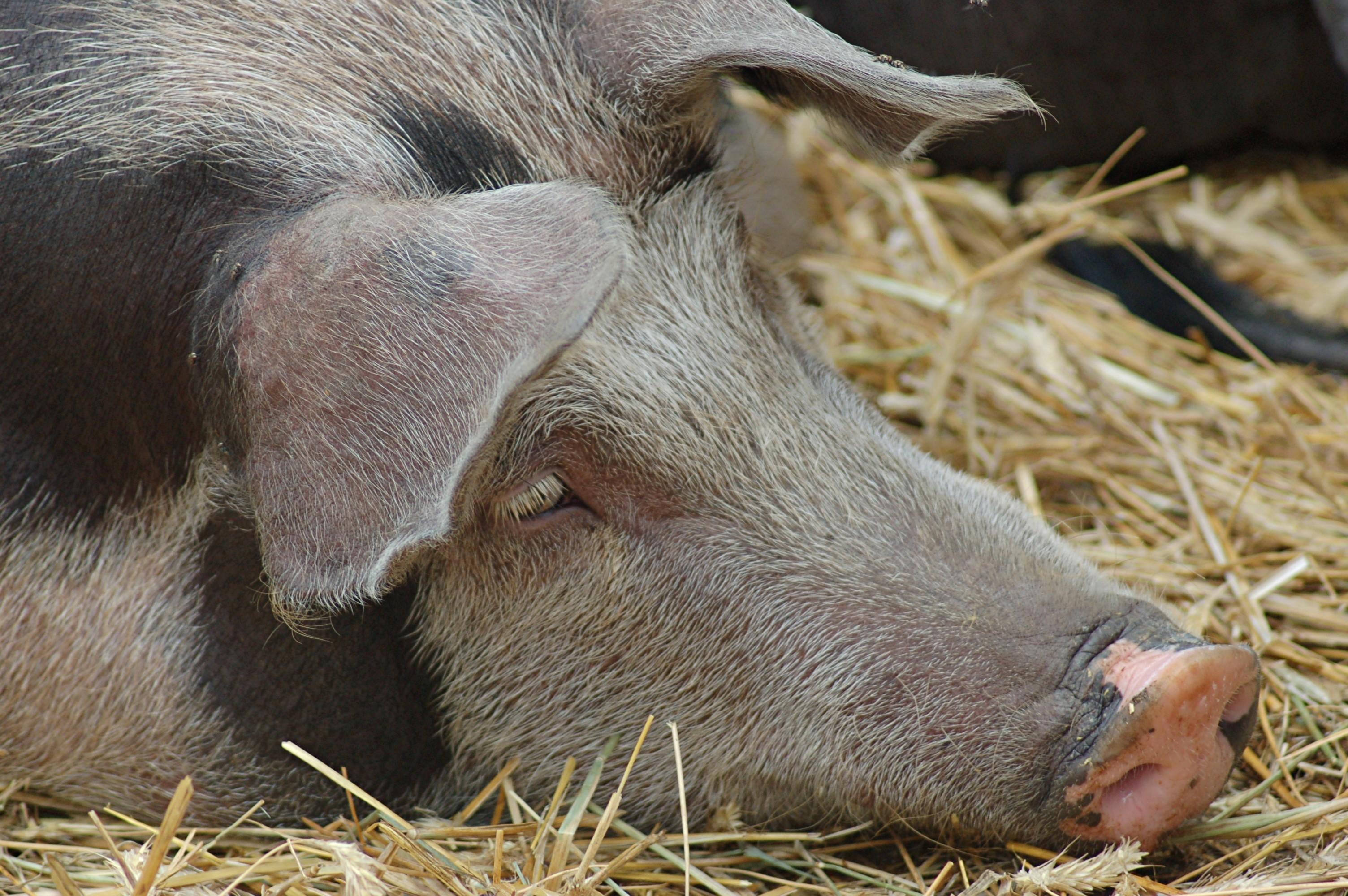 Schweine auf dem Reiter - & Erlebnisbauernhof Berlinchen