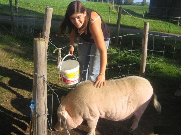 Schweine füttern