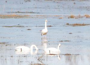 Persönlicher Tipp vom Bauern Voß – Den eindrucksvollen Vogelzug in der Elbtalaue live erleben!