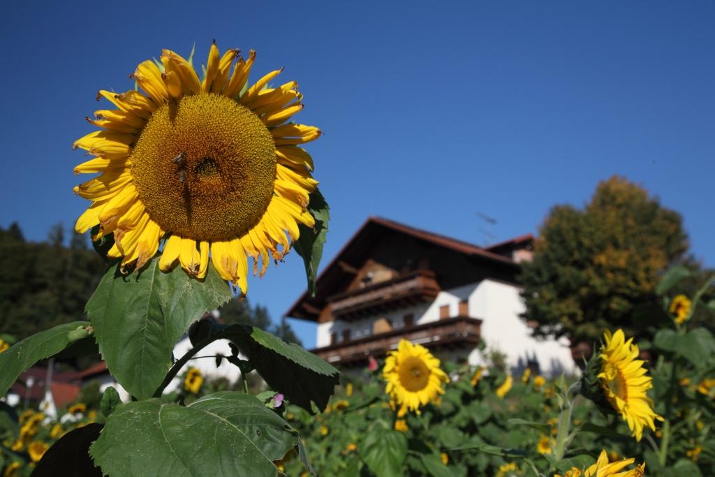 Sonnenblumen am Landhaus Altweck