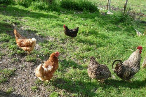 Hühner am Taffenreutherhof