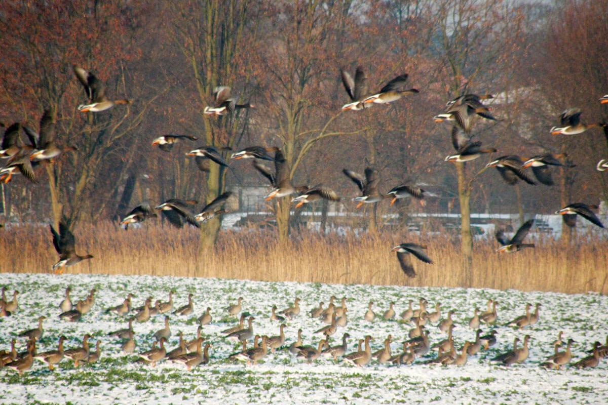 Gänse beim Vogelzug - © Sabine Wittkopf