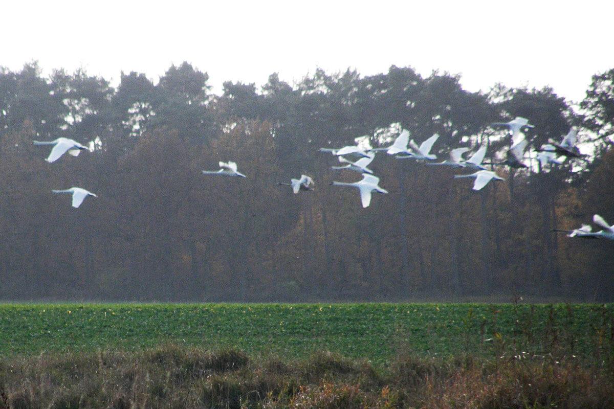 Der imposante Vogelzug - © Sabine Wittkopf