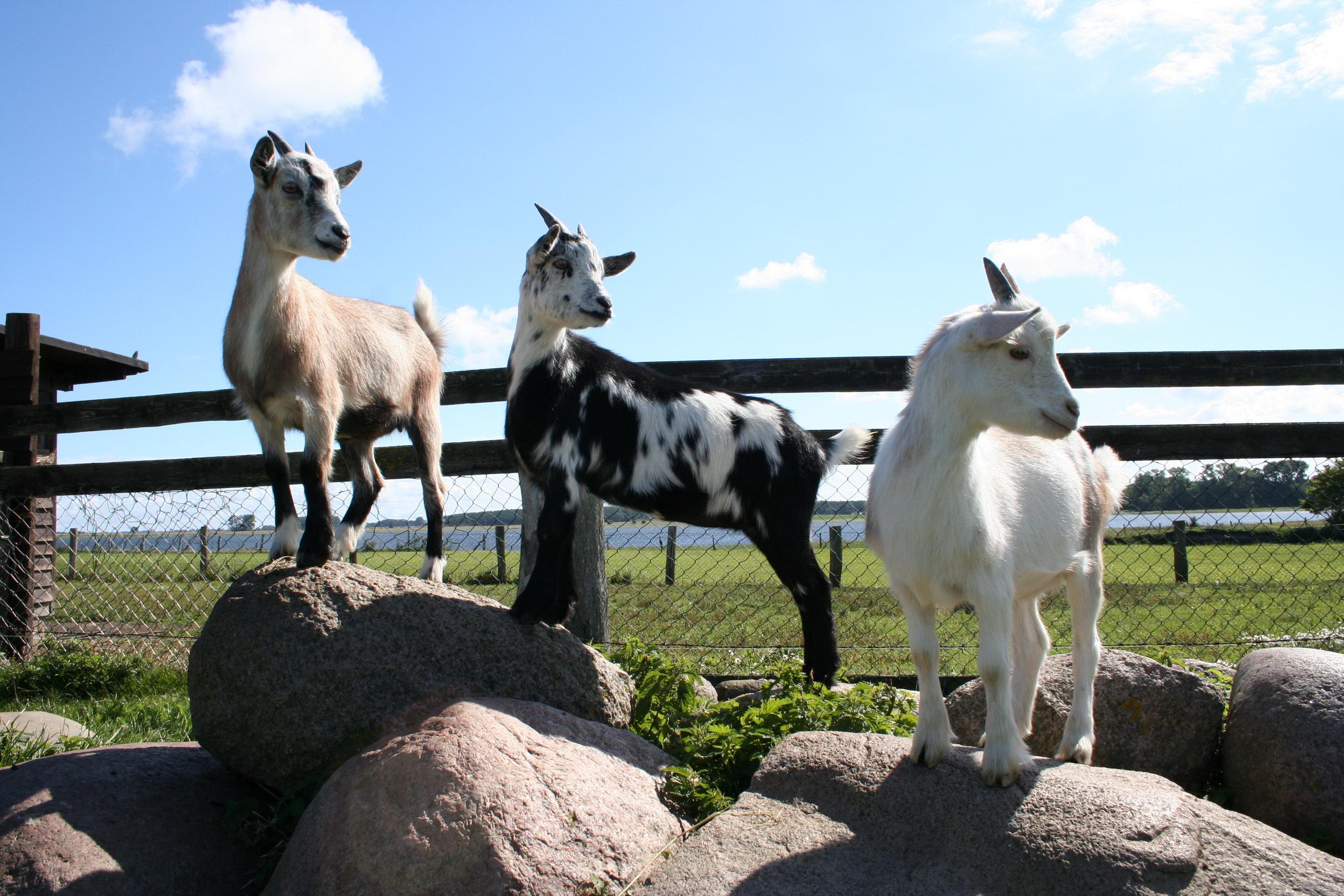Ziegen auf dem Erlebnis-Bauernhof Kliewe