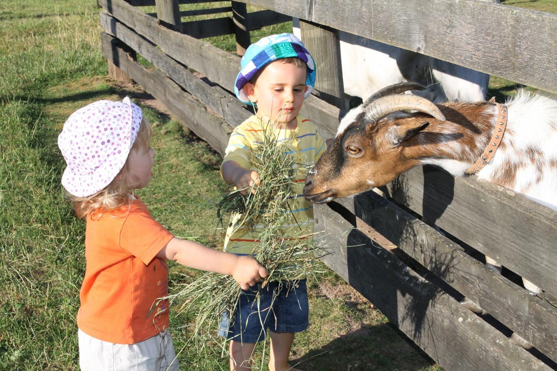Ziegen füttern im Feriendorf Nehmeier