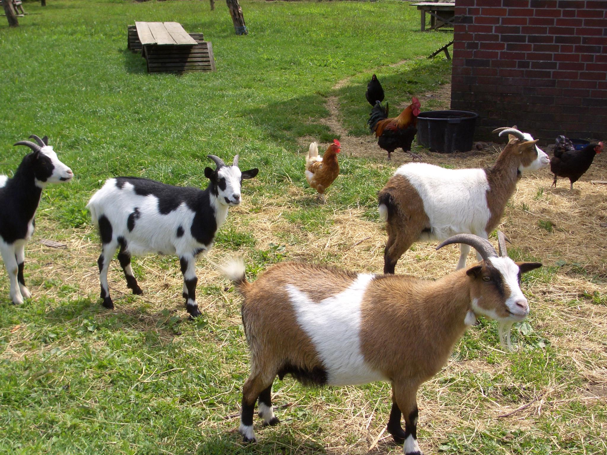 Ziegen und Hühner auf dem Cohrshof